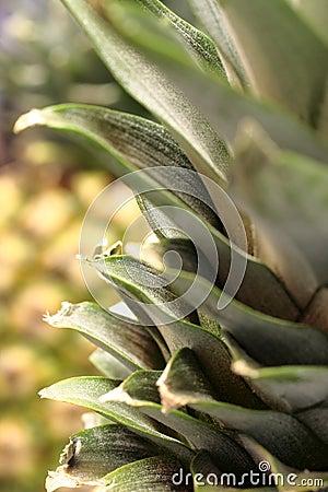 Pineapple Top Leaves