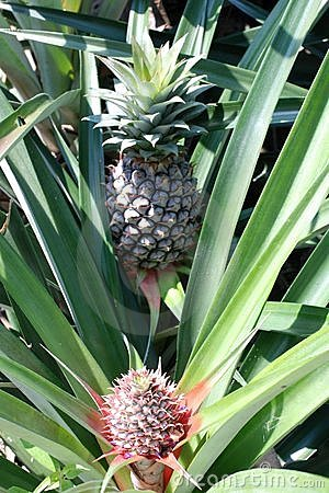 Pineapples Big and Small