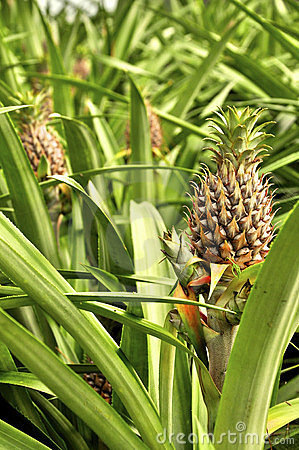 Pineapples growing on a field