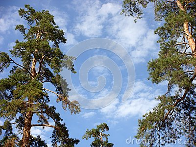 Pines on a background of the sky.