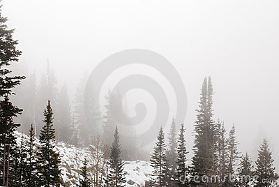 Pines in fog