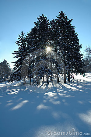 Free Pines In Winter Royalty Free Stock Images - 7327769