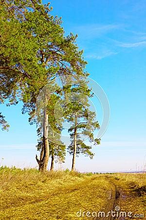Pines, skies, rut
