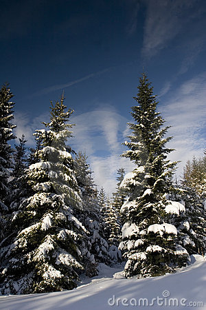 Free Pines Under The Snow Royalty Free Stock Photography - 4444497