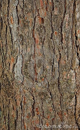 Free Pinetree Bark Texture Royalty Free Stock Photo - 9855165