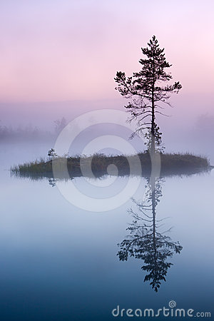 Pine tree in mist in marsh in Estonia
