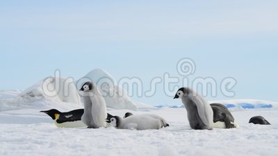 Pingüinos adultos con pollitos en el hielo almacen de metraje de vídeo