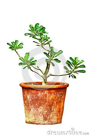 Free Ping Bignonia In Handmade Flowerpot Royalty Free Stock Photos - 32631968