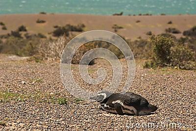 Pingüino de Magellanic en Patagonia