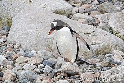 Pingouin de Gentoo