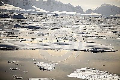 Pinguim de Continente antárctico no por do sol