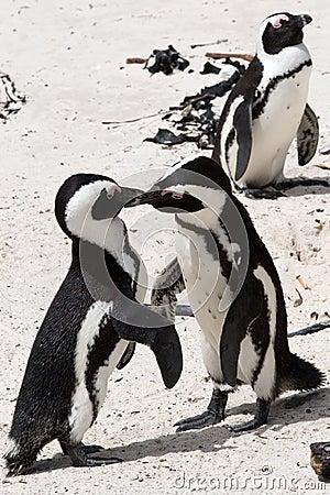 Pinguin fighting