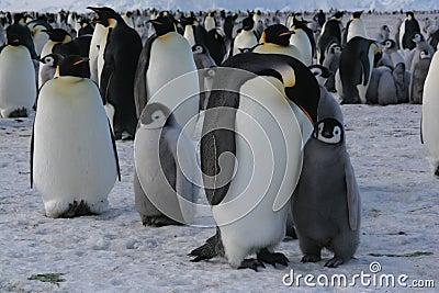 Pinguino dell imperatore