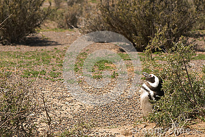 Pinguino di Magellanic nella Patagonia
