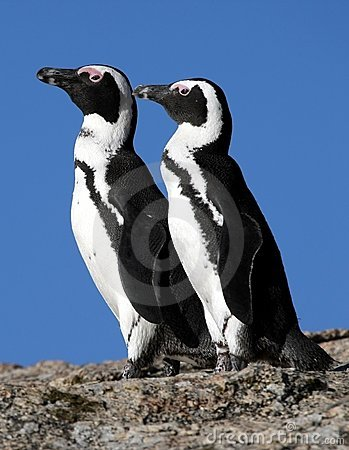 Pinguins africanos