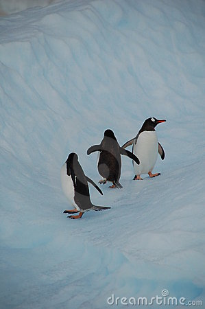 Pinguins in un iceberg