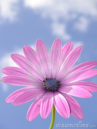Free Pink African Daisy Stock Image - 225491