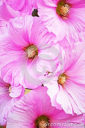 Pink Alcea flowers