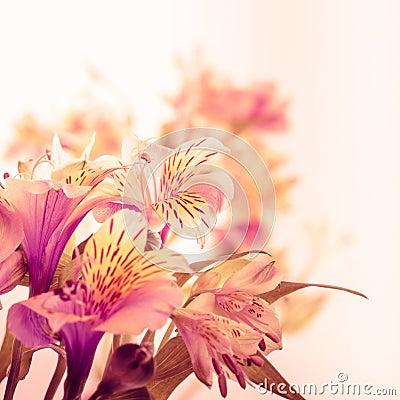 Free Pink Alstroemeria Isolated Stock Photo - 25848870
