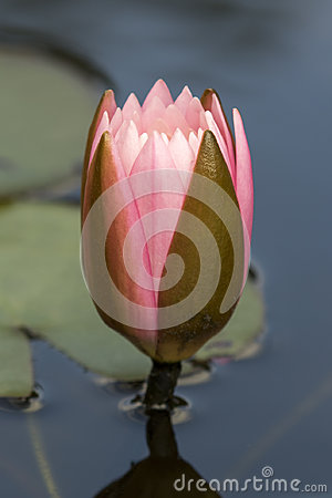 Free Pink And Green Water Lily Flower Bud - Nymphaea Stock Photos - 98112003