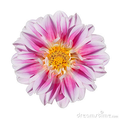 Free Pink And White Dahlia Flower Isolated On White Stock Images - 15988474