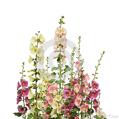 Free Pink And White Mallow Flowers Royalty Free Stock Images - 93423059