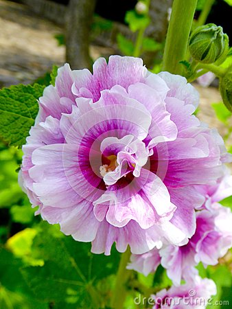Free Pink And White Peony Flowers Blooming Royalty Free Stock Images - 55713069
