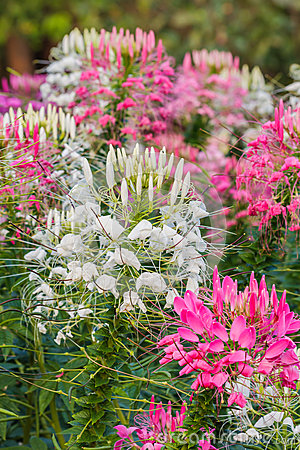 Free Pink And White Spider Flower(Cleome Hassleriana) Royalty Free Stock Photography - 44731067