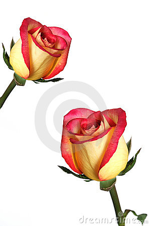 Free Pink And Yellow Roses Stock Images - 4776484