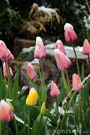 Free Pink And Yellow Tulip Under Snow Stock Photo - 15905370