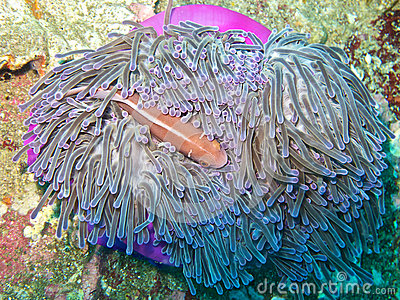 Pink anemone fish in magnificent anemone