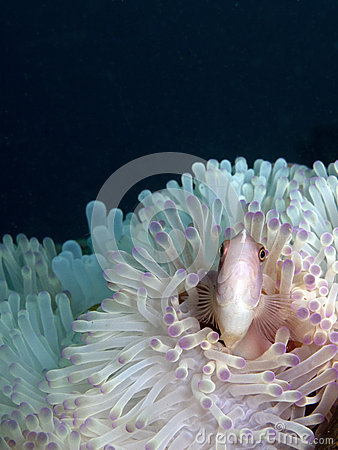 Free Pink Anemone Fish With Dark Background Stock Photos - 30644333