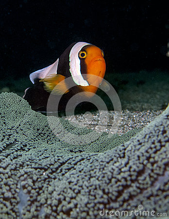 Free Pink Anemone Fish With Dark Background Stock Photo - 30644360