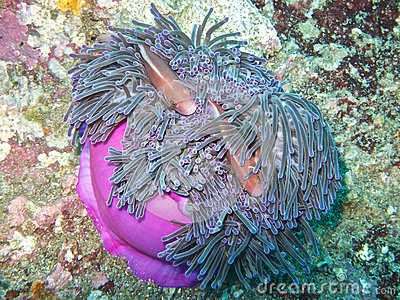 Pink anemone fishes in magnificent anemone