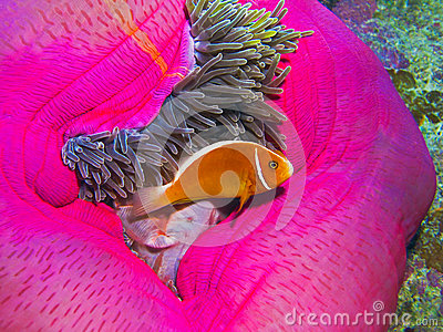 Pink Anemonefish, Great Barrier Reef, Australia