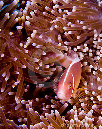 Pink anemonefish hiding in pink anemone