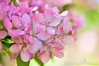 Pink apple tree flowers macro