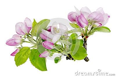 Pink apple tree isolated flowers macro