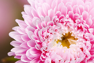 pink aster flower stock photo  image, Beautiful flower