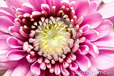 pink aster flower stock photos  image, Beautiful flower