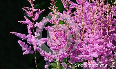 Pink astilbe Arendsii
