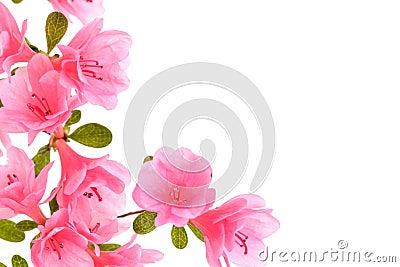 Pink azalea border