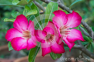 Royalty free stock photo pink azalea flowers
