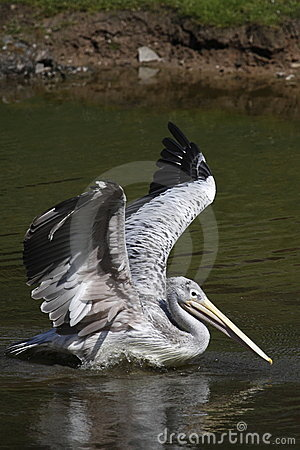 Free Pink-backed Pelican Stock Photo - 14025030