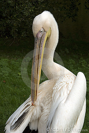 Free Pink Backed Pelican Royalty Free Stock Photo - 22056865