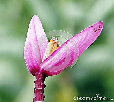 Pink Banana flower