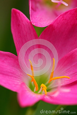 Free Pink Beautiful Fairy Lily In Garden. Royalty Free Stock Photo - 82906005
