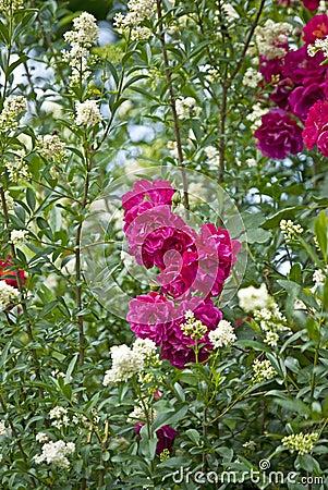 Pink beautiful roses