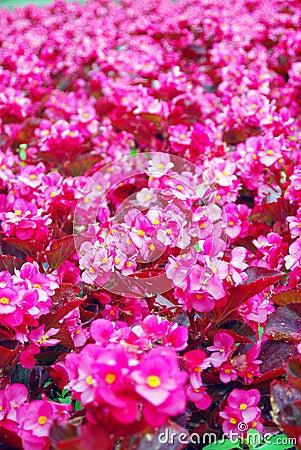 Pink begonia flowers field