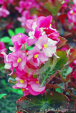 Pink begonia flowers in the garden